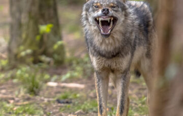 THE WOLF IN SHEEP'S CLOTHING SHEDS HIS DECEPTION AS HE FLAUNTS HIS FANGS WHILE FEASTING ON OUR TENETS.
